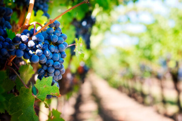 Future of Winemaking: Effects of Climate Change on Growing Grapes
