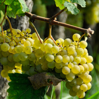 What is Natural Wine? Organic Wines Made Naturally Explained