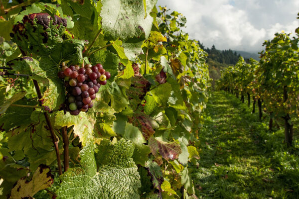 Designing the Vineyard: Useful Tips for Vineyard Placement